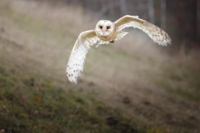 Very agile owl