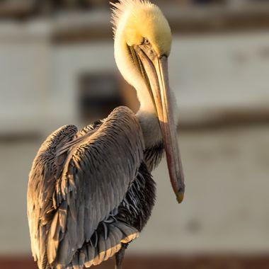 Pelican-4