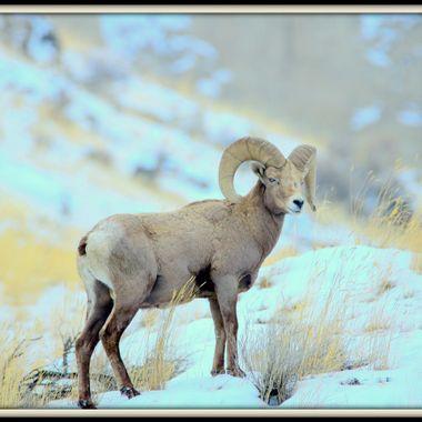 Pastel Sheep