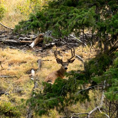 A mule Deer lying down in the heat of the day