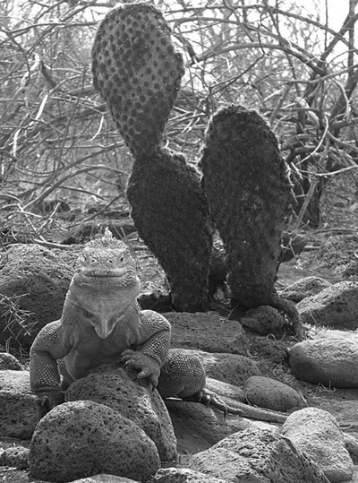 B and W Galapagos land iguana copy