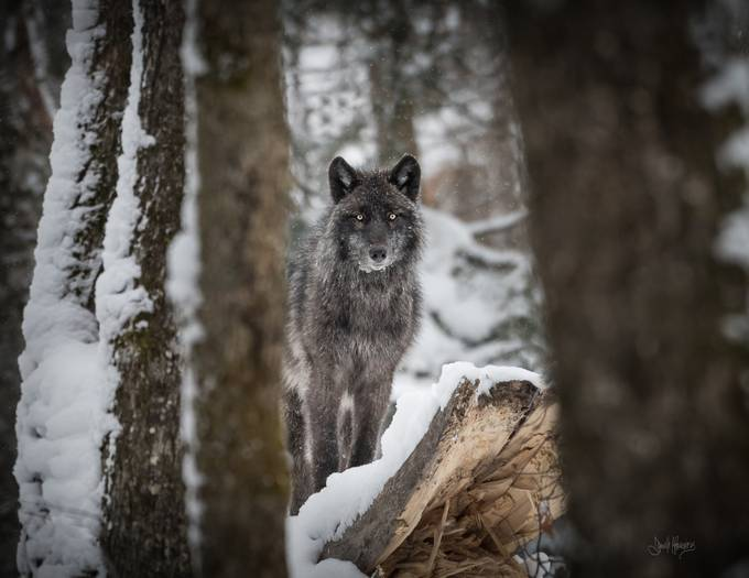 A curious Wolf  by DanielleBuss - Wolves Photo Contest