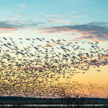 I only wish I could describe the sound of this sudden burst of activity, from the marsh where they had been feeding.