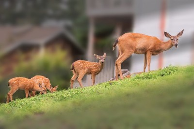 Columbian Black-Tail Deer - a Doe and Three Fawn