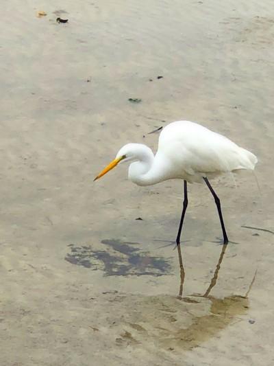 Iphone egret