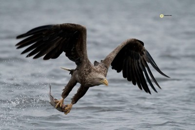 Whitetailed Eagle flying of with catch, Oder delta