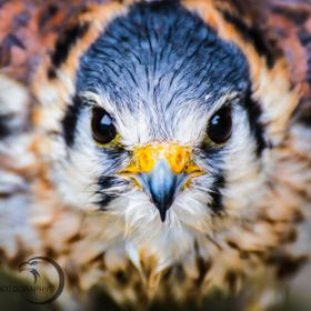 Did you know those kestrels are one of the smalles and one of the best hunters among the birds of prey?