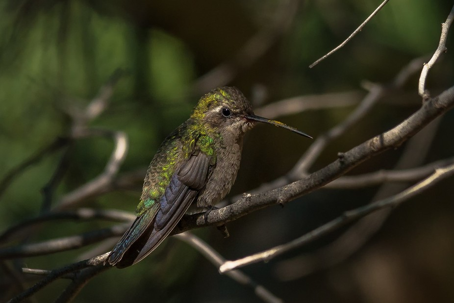 Hummingbirds look both delicate and dainty but are in fact fierce little warriors.  Hummingbirds ...