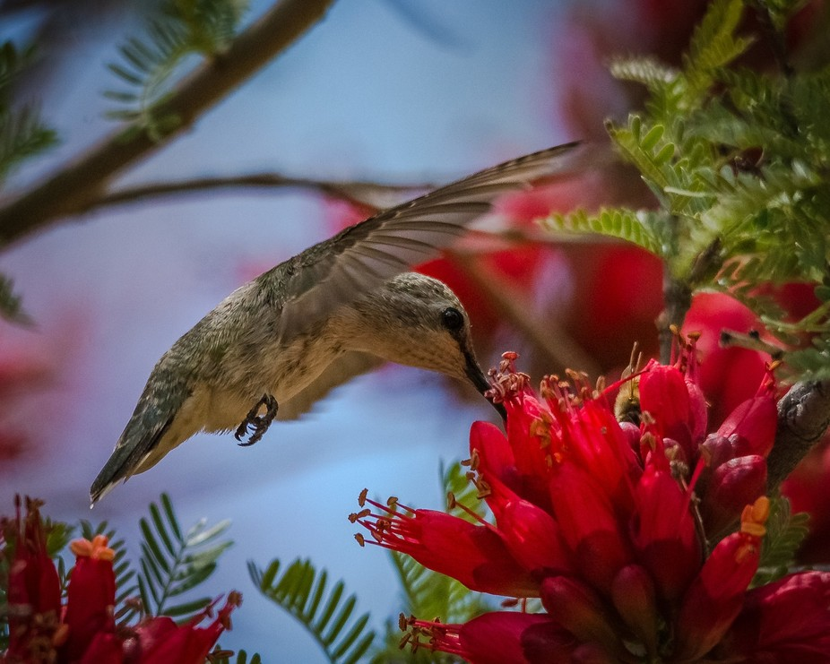 Karoo boer-bean trees attract a large number of birds particularly hummingbirds. .DSC_8778a 5-12...