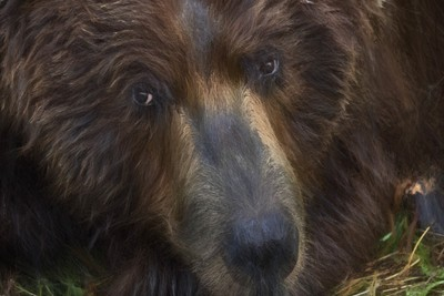 Portrait of a Brown Bear