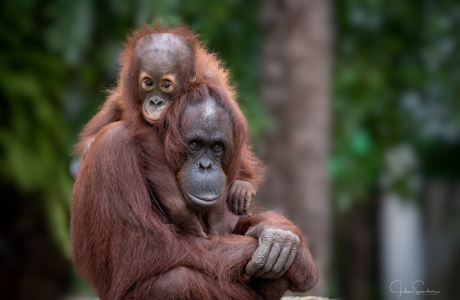 Orangutan Apes