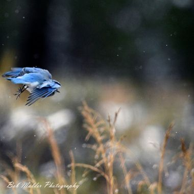 A mountain Bluebird in the snow.
