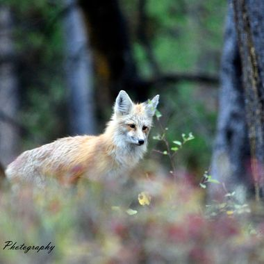 A fox on Signal Mountain in Grand Teton National Park.