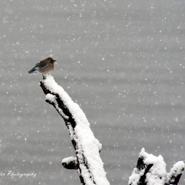 A Mountain Bluebird sitting in the snow in Yellowstone National Park.