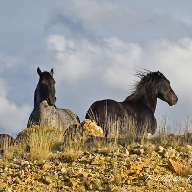 Pryor Mountain Wild Horses.
