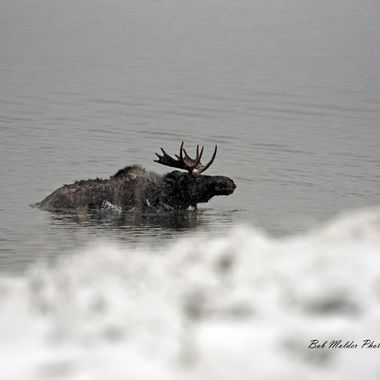 Moose coming out of Yellowstone Lake