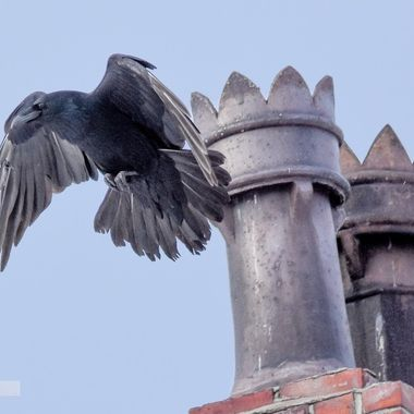 A Raven checks out the Chimney of the Coldwater Hotel in Merritt B C