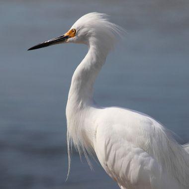 Snowy Egret 1 Sanibel