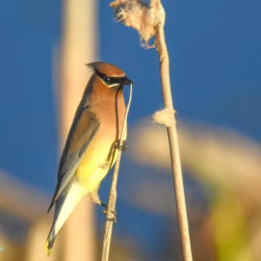 Cedar Waxwing on a bull rush stem