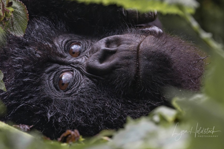 The youngest of a troop that we trekked for hours to see in Rwanda. A playful, inquisitive and ve...