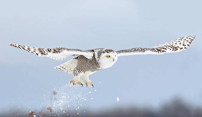 Snowy owl blast-off by JimCumming - Beautiful Owls Photo Contest