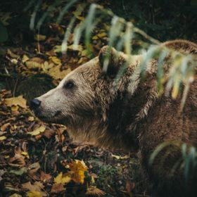 Brown bear in Bern, Switzerland