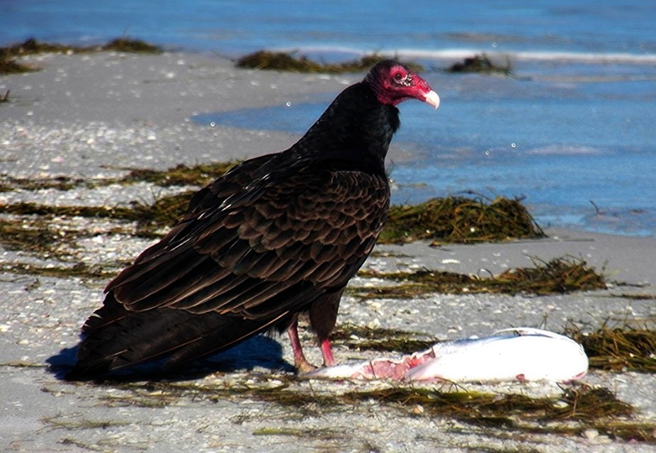 Vulture with fish on beach