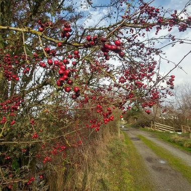 RED BERRIES (Rose Hips) on MORNINGSTAR FARM TRAIL 20180130