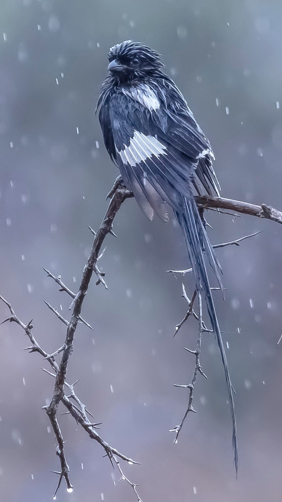 Magpie Shrike. by Hawkeyefoto - Rain Photo Contest