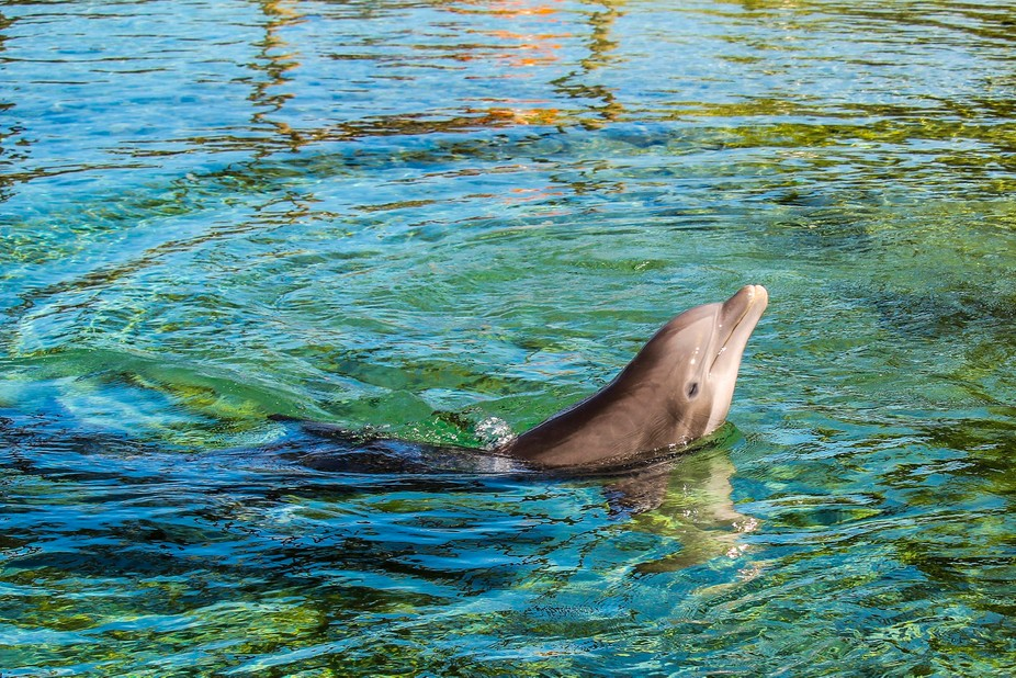 Walking along the beautiful fragrant gardens of the Hilton in Kona, my heart jumped when a dolphi...