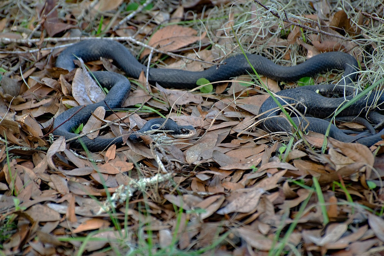 Taken with Nikon D5100 using AF-S Nikkor 70-300mm 1:4.5-5.6 G lens. Enhanced and resized using Photoshop Elements 14.1. Most of the second snake was under leaves and brush on the right side of the photo. I thought it was just one snake until they separated.
