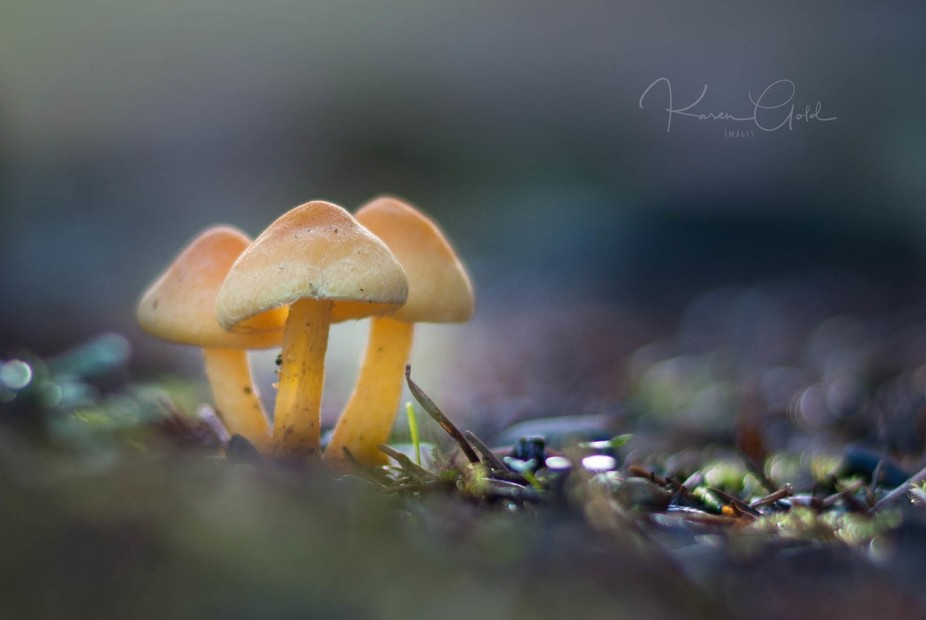 So lucky to find these little mushrooms back-lit by a rising sun.