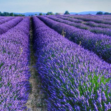 Lavender fields.  Provence, France