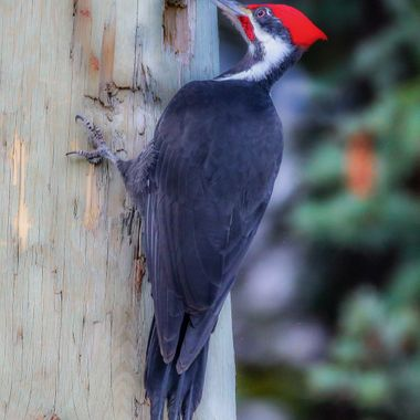 A pileated woodpecker on a hydro pole.