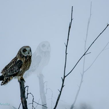 A double exposure of a short eared owl .