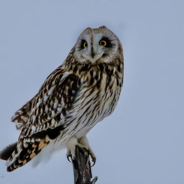 A short eared owl perched on a stick and looking for a mouse.