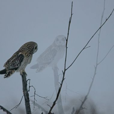 A short Eared owl near Stump Lake B C