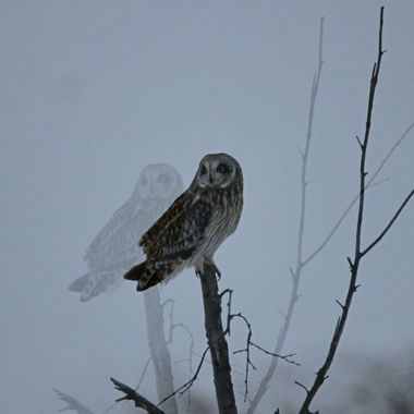 A short eared owl near Stump Lake B C .In the cold weather they seem to hunt all day.