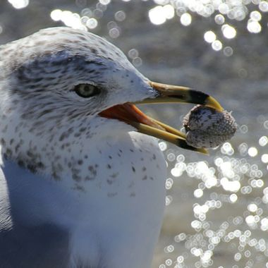 Seagull with shell