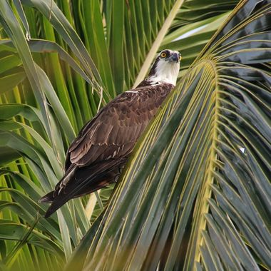 Osprey in Palm Tree 3