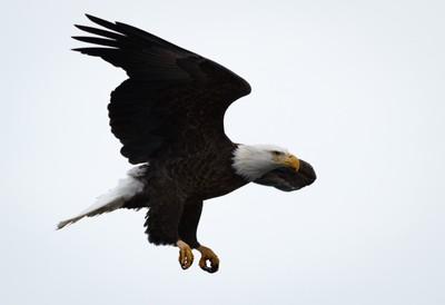 Eagle Beauty