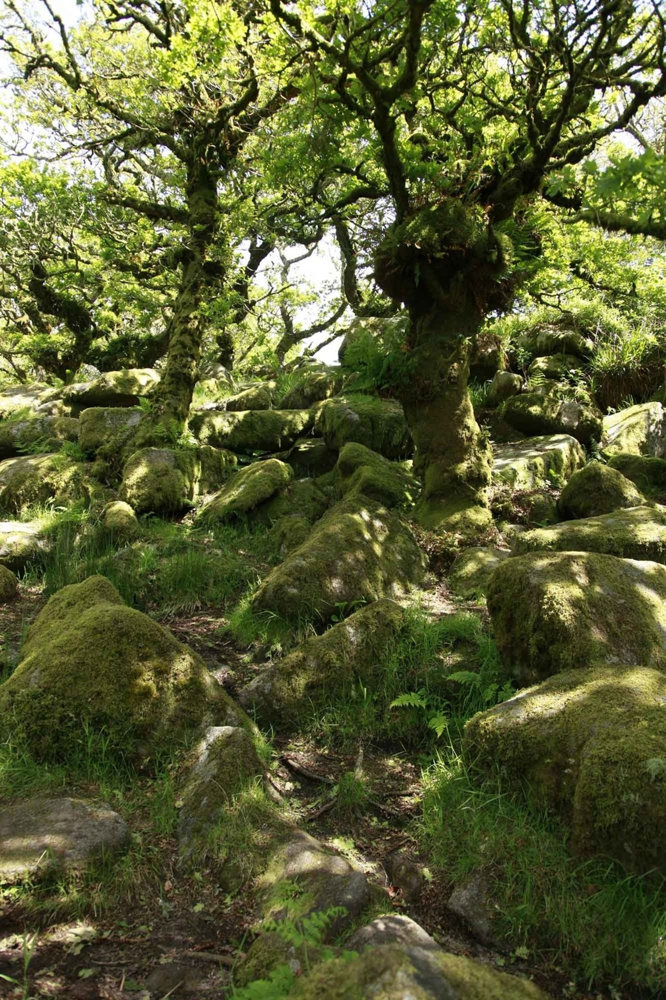 """Wistman's Wood is one of only three remote high-altitude oakwoods on Dartmoor, Devon, England. A beautiful day and a long held ambition to visit the Wistman's Wood was covered!! This is a STUNNING place to visit and just quiet, peaceful and kind of """"spooky""""! Some of the trees seem to have a real look of a being frozen in time! Wistman's Wood lies at an altitude of 380–410 metres in the valley of the West Dart River near Two Bridges, [1] at grid reference SX612774. The source of the Devonport Leat, at a weir on the West Dart River, is just north of the wood."""