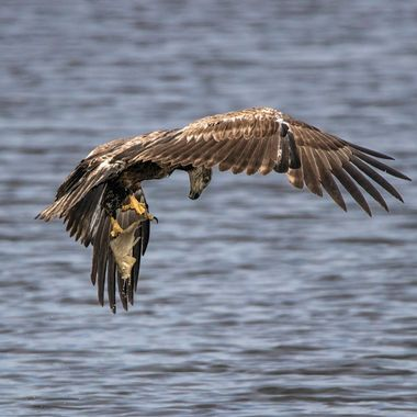 Eagle checking to make sure the fish is secured before heading off with his snack.