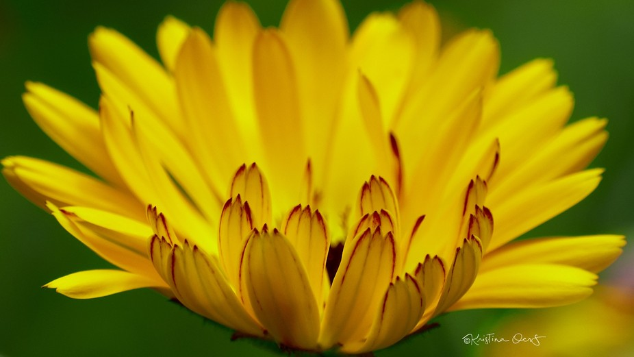 Calendula Officinalis - Such lovely and unassuming flowers, they always brighten up the day!