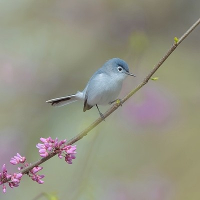 The Blue-Gray Gnatcatcher in Redbud tree.  Beauty for the Heart, Eyes and Mind.