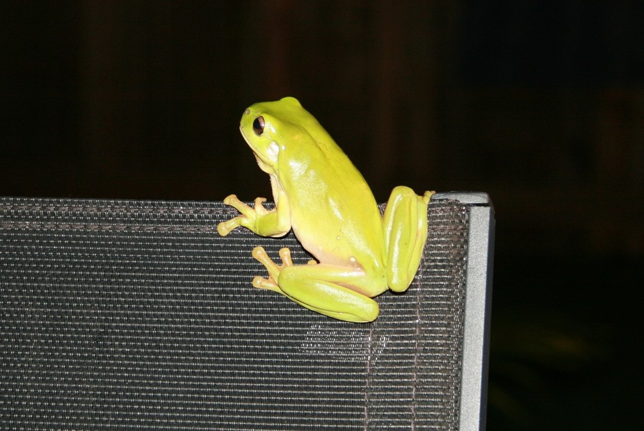 This gorgeous green tree frog is a welcome (and regular) visitor on my patio because he catches t...