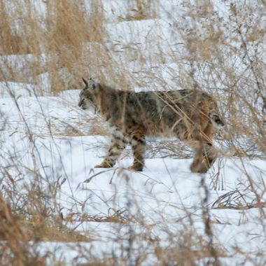 A bobcat looking over the Nicola River near Merritt B C