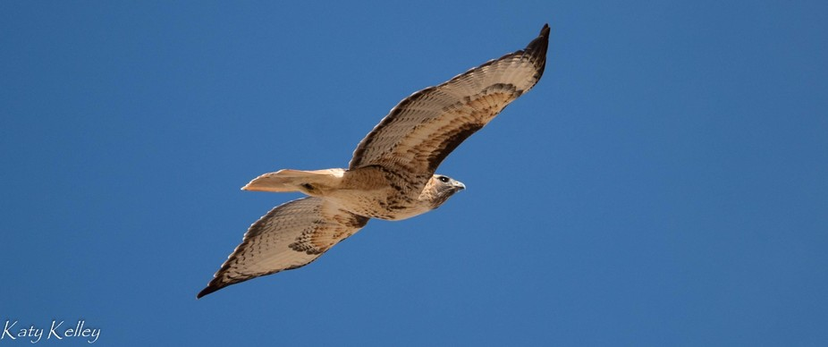 Red tailed hawk flying over a farm field in the San Luis Valley, Colorado