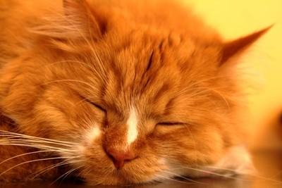 Ssleeping cat