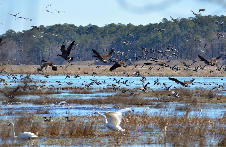 A large group of waterfowl take flight over Lake Mattamuskeet, North Carolina on the morning of F...